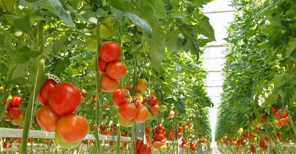hydroponic-tomatoes
