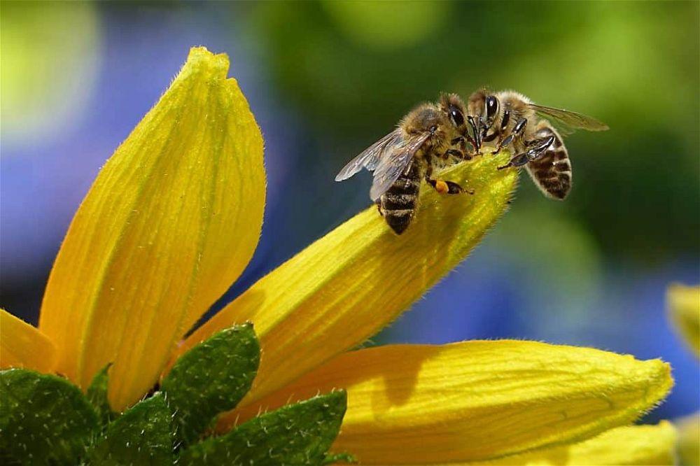 british honey bee