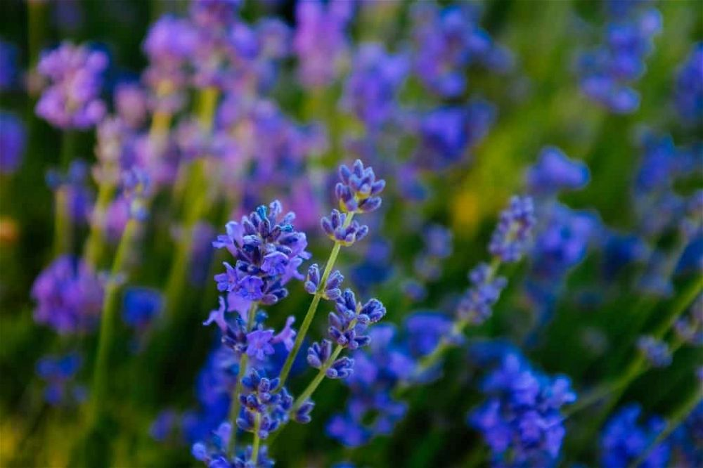 lavender varieties