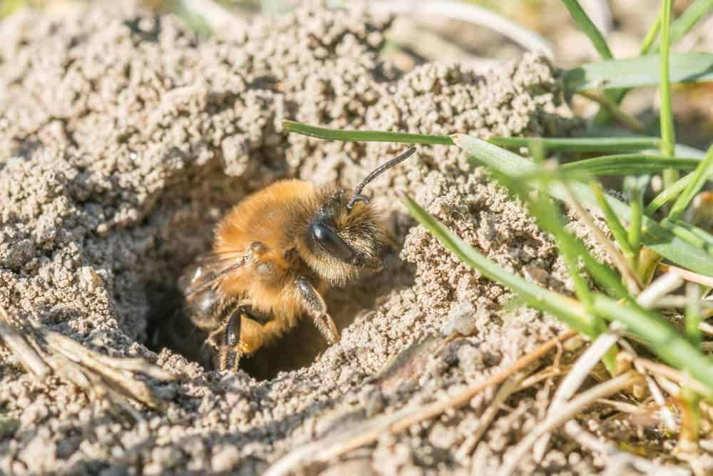 mining bee in ground