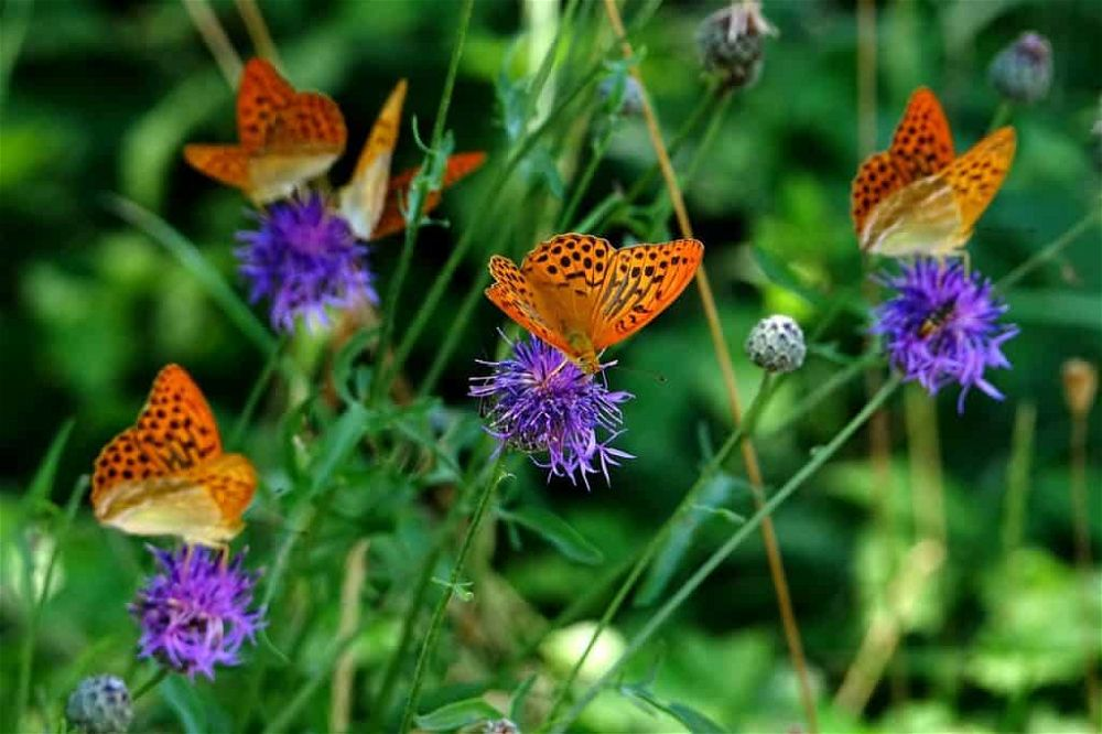 how butterflies help the garden