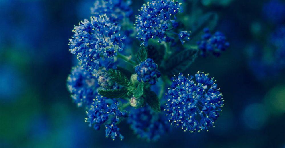 Californian Lilac