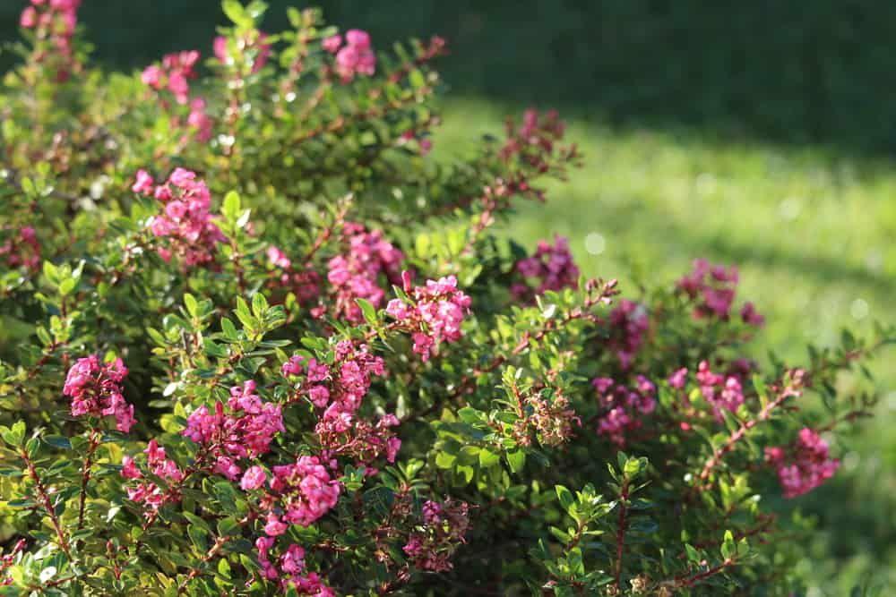 escallonia varieties