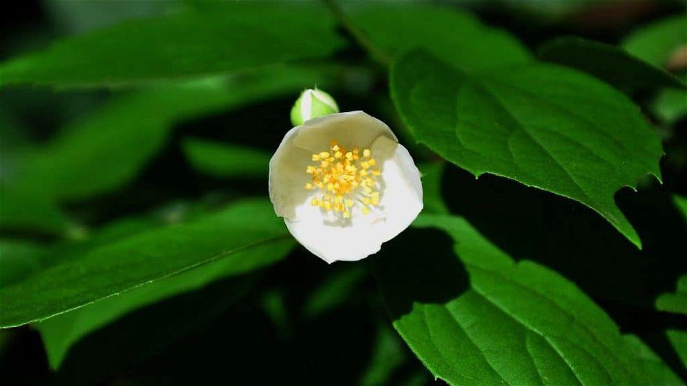 philadelphus-bush-819000_1280