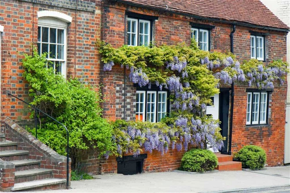 wisteria on house