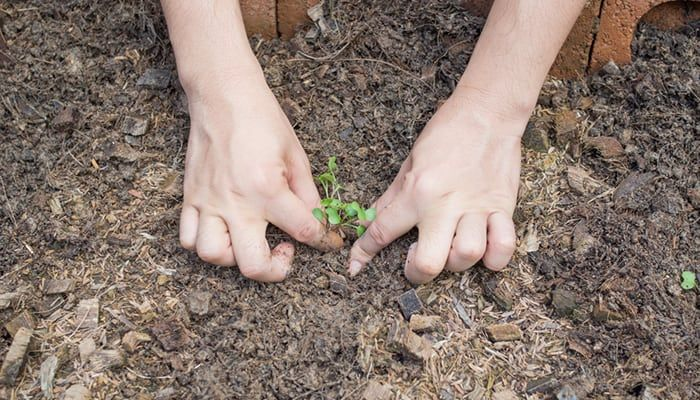 how-to-sow-kale