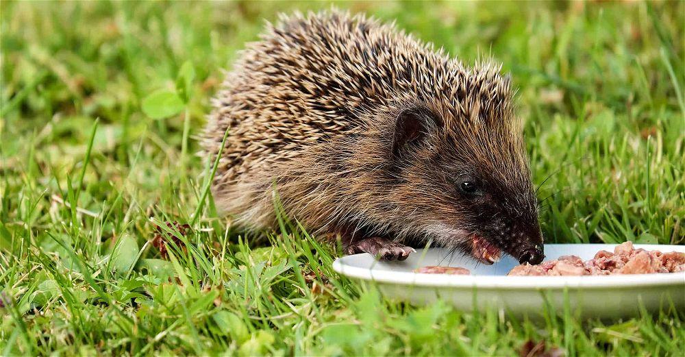 hedgehog-food