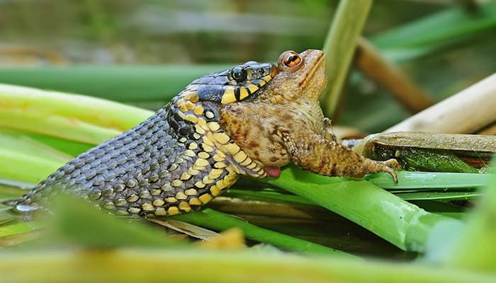 grass-snake-eating-toad