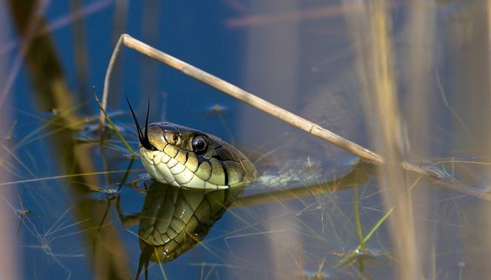 grass-snake-in-water