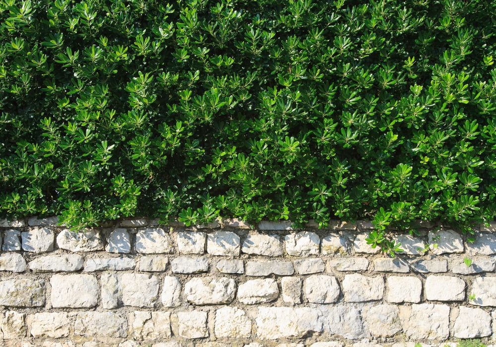 evergreen-shrubs