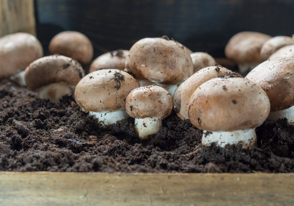 mushrooms-in-coffee-grounds