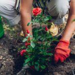 best-rose-feed