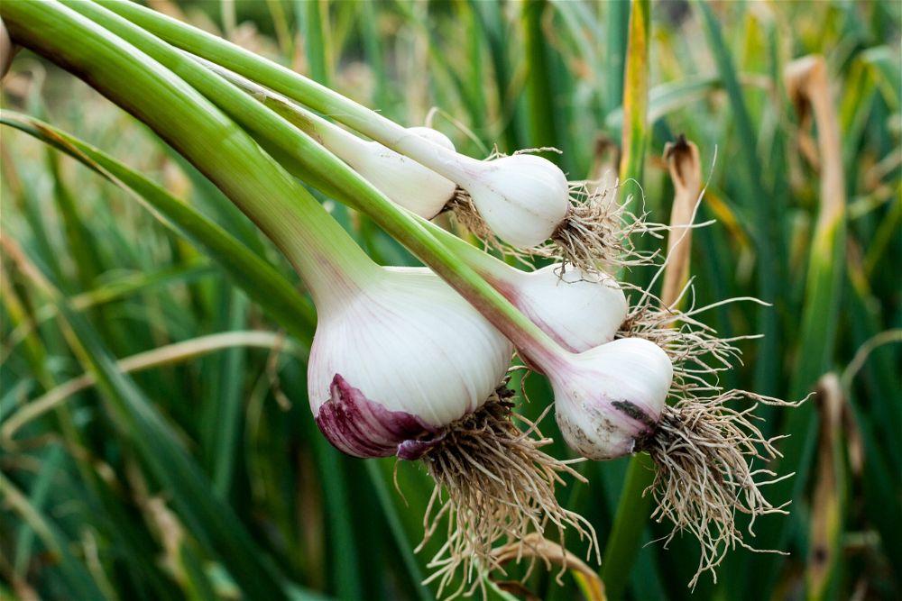 Garlic bulbs in garden