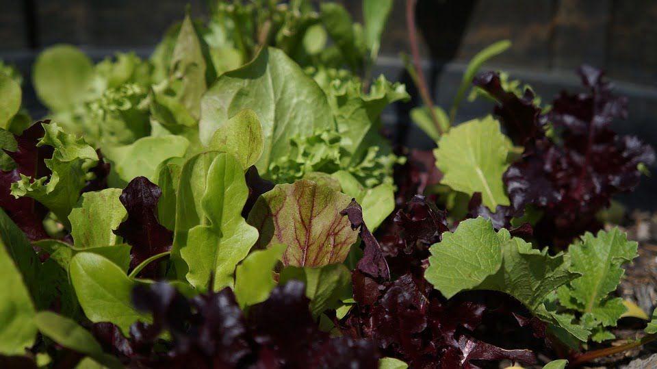 grow-fresh-salad-winter
