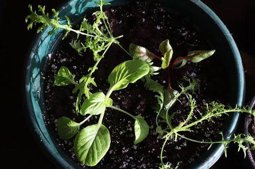 salad-seedlings