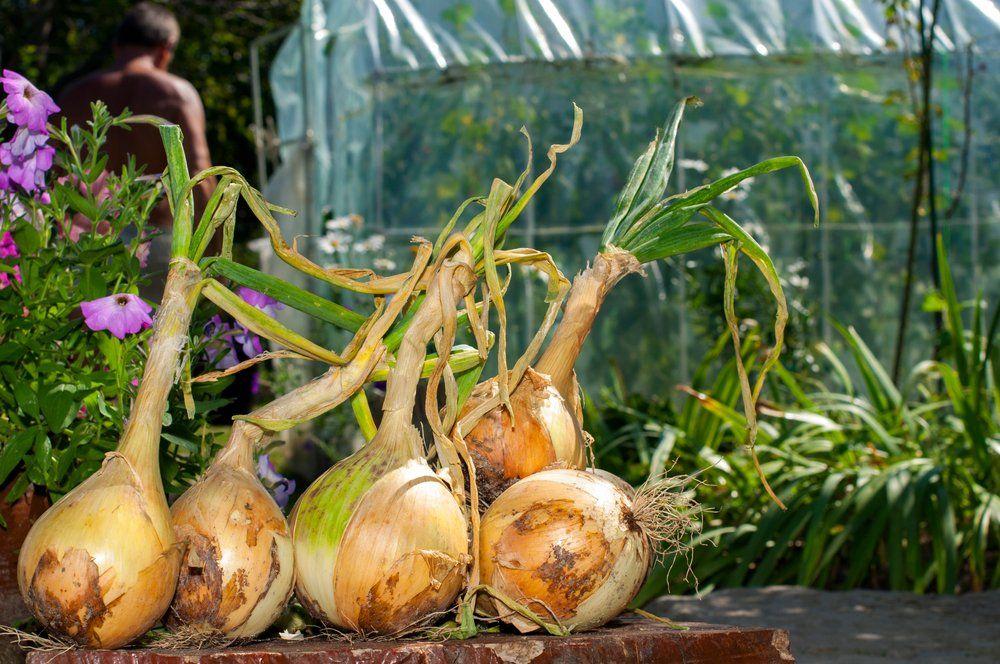 Giant onions in garden