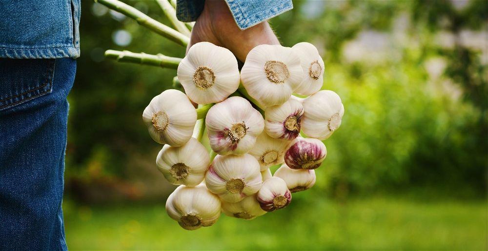 Hand holding garlic harvest