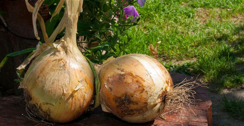 Giant onions