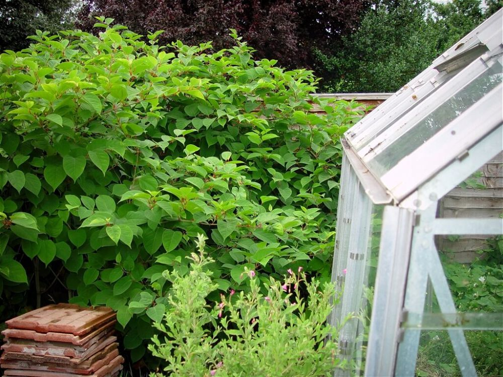 Japanese knotweed growing through fence and greenhouse