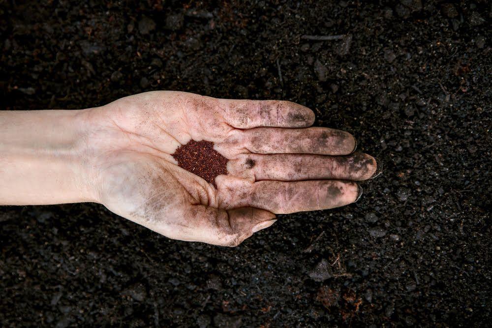 Hand holding oregano seeds