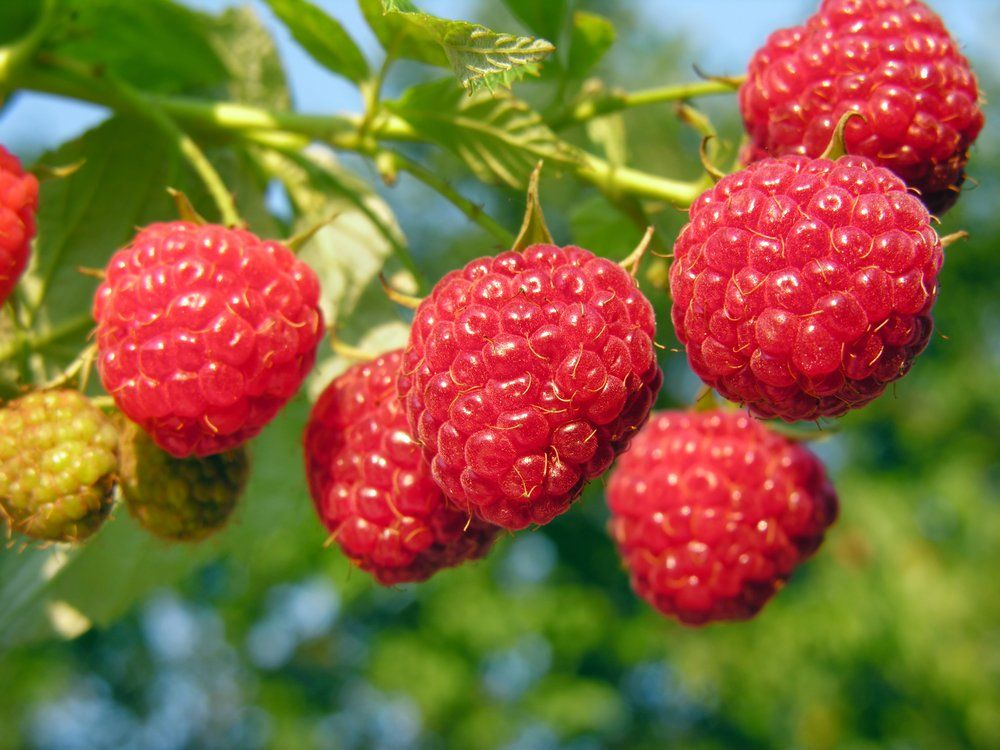 Fresh raspberries on plant