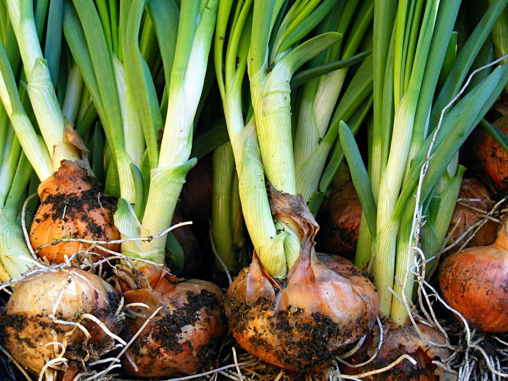 Harvested shallots