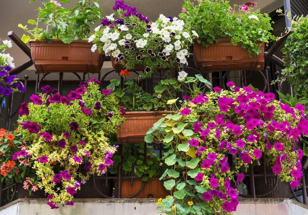 balcony-garden-petunia