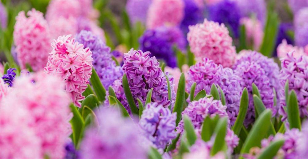 colourful-houseplant-hyacinths