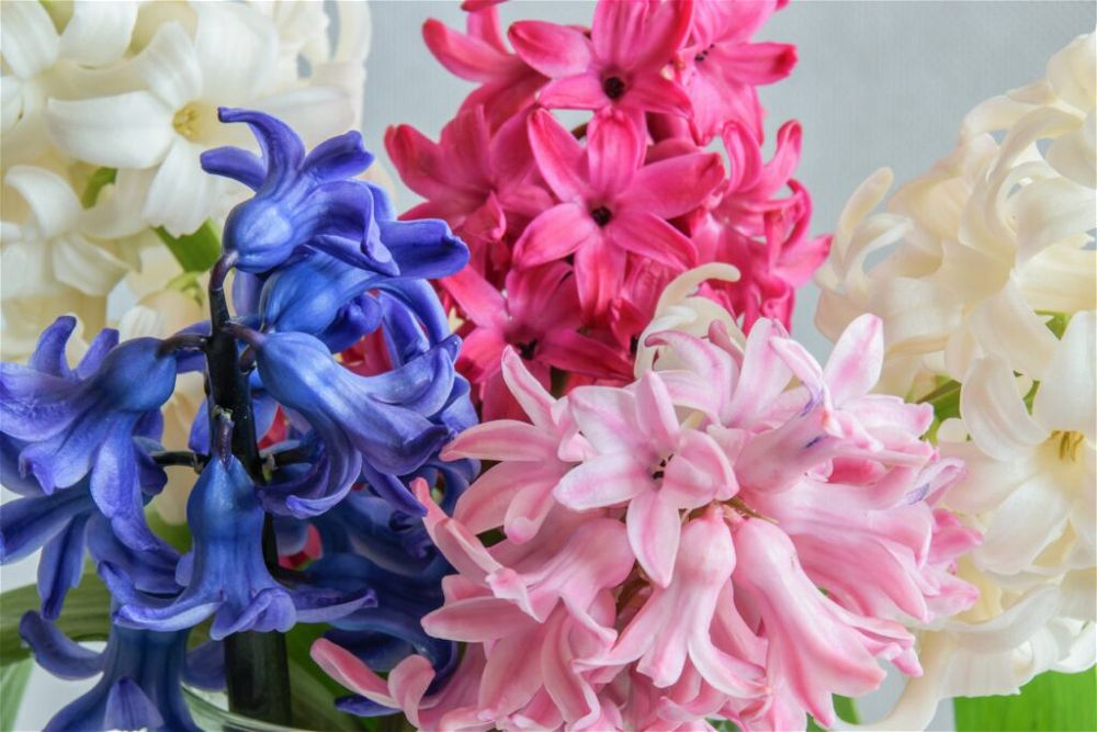 colourful-houseplant-indoor-hyacinths