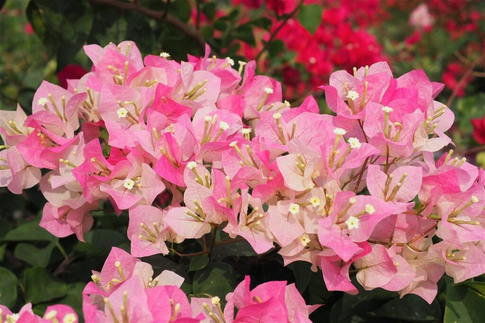 colourful-houseplant-light-soft-pink-Bougainvillea-flowers