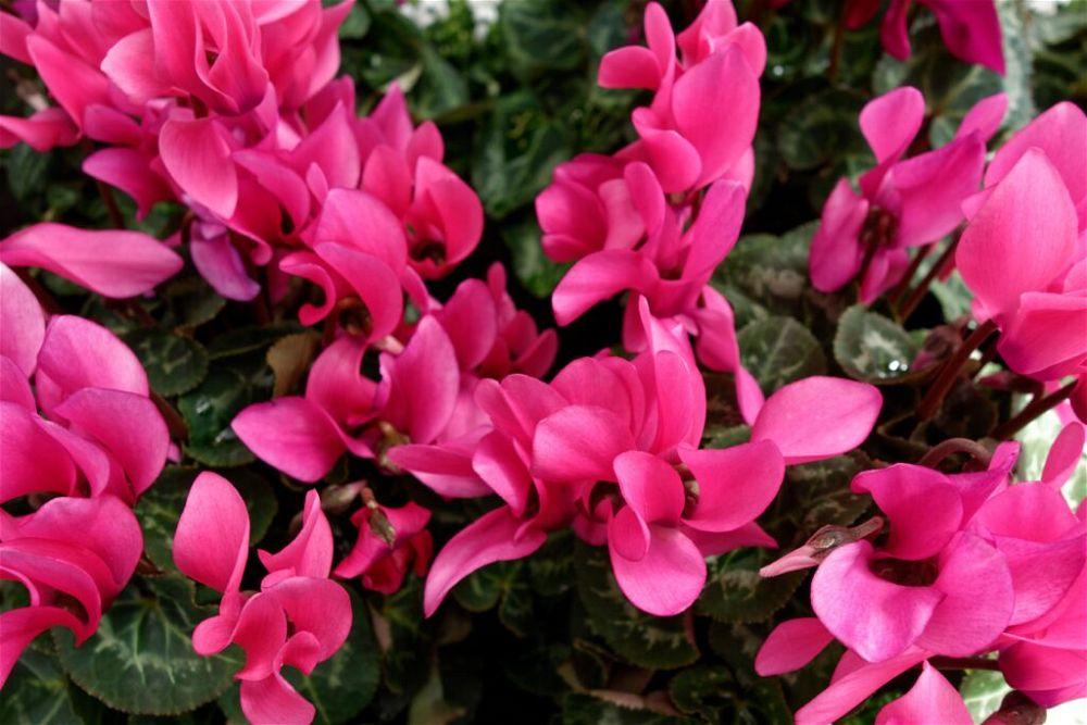 colourful-houseplant-magenta-cyclamen