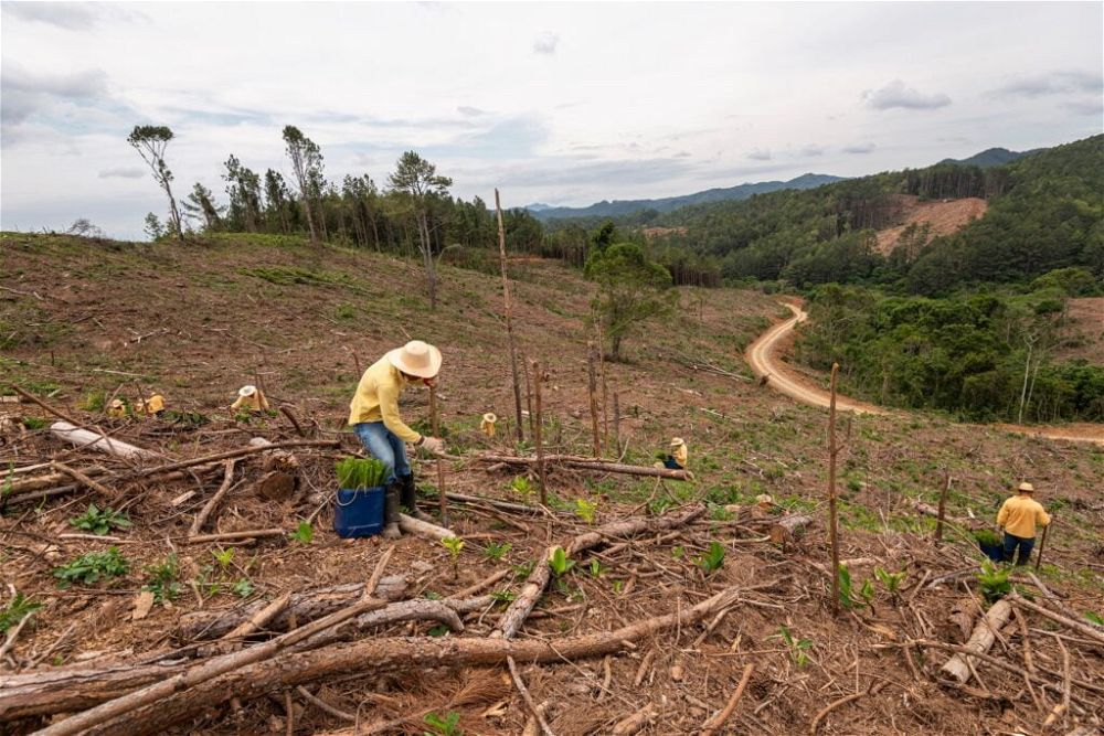 reforestation-with-new-pine-trees