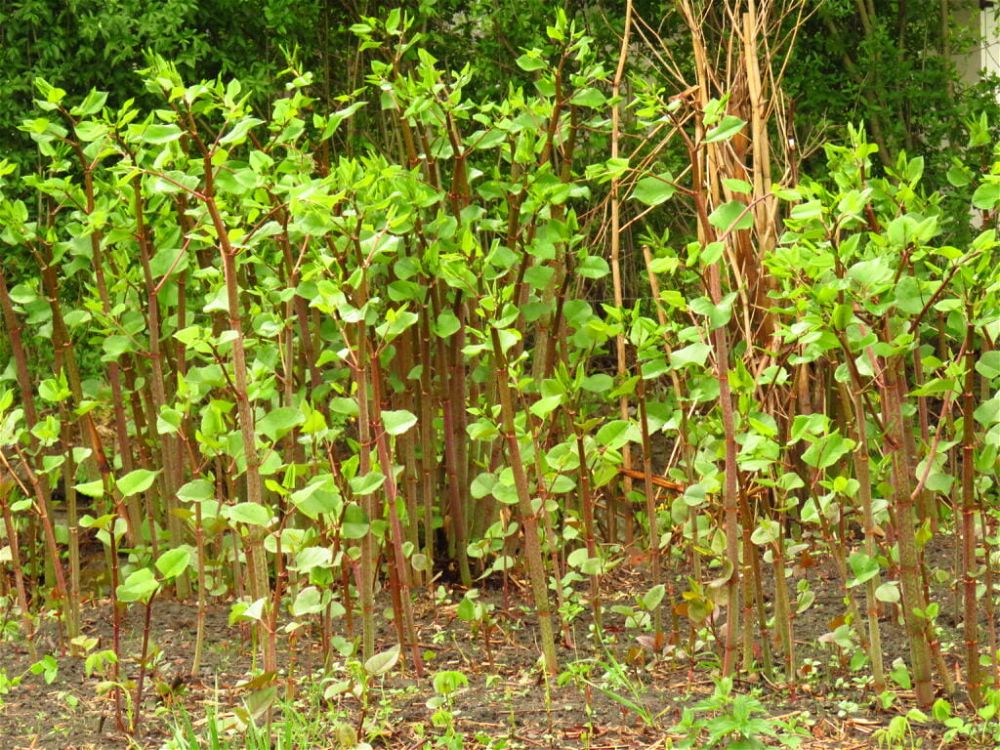 what is japanese knotweed