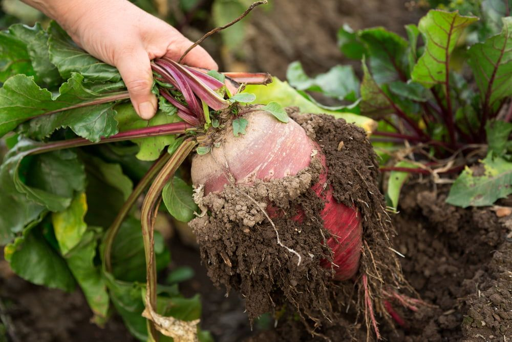 Hand holding freshly harvested beetroot