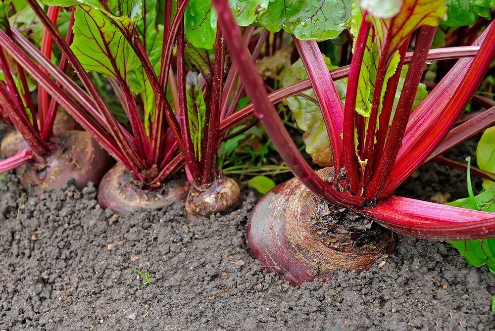 Beetroot plants in garden