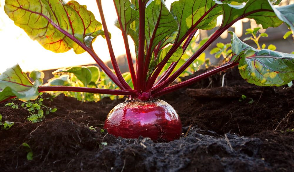 Beetroot in garden close-up
