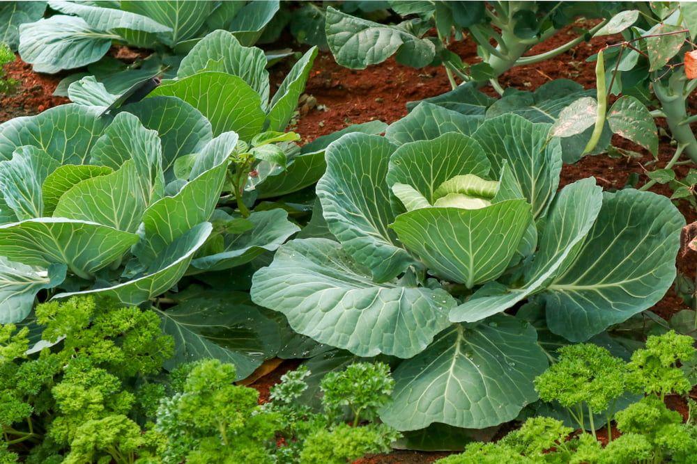Cabbages growing in garden