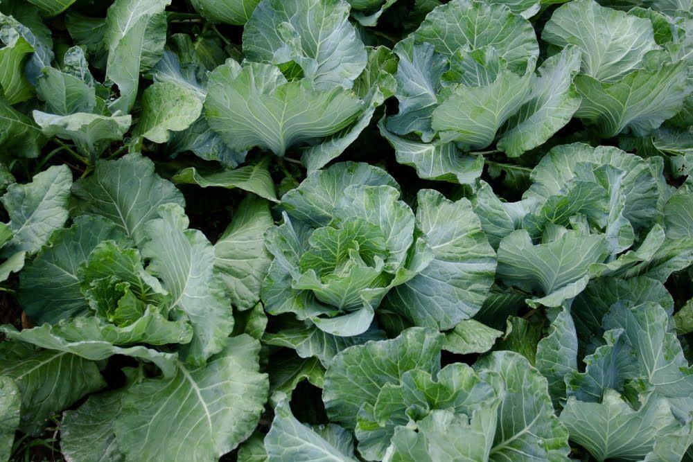 Cauliflower plants in garden