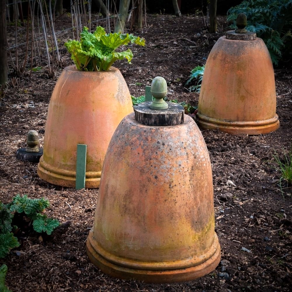 Pots over rhubarb plants to force them on
