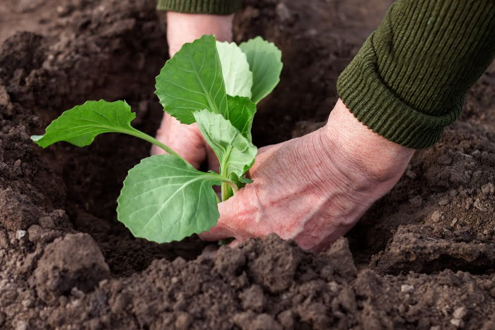 Hands planting out young cabbage plant