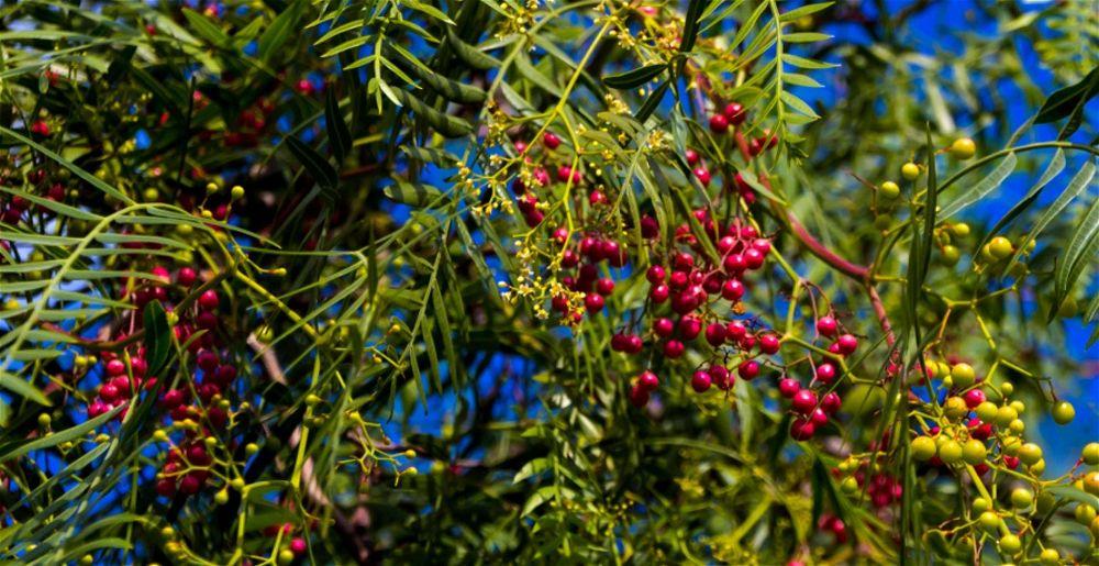 Szechuan pepper tree