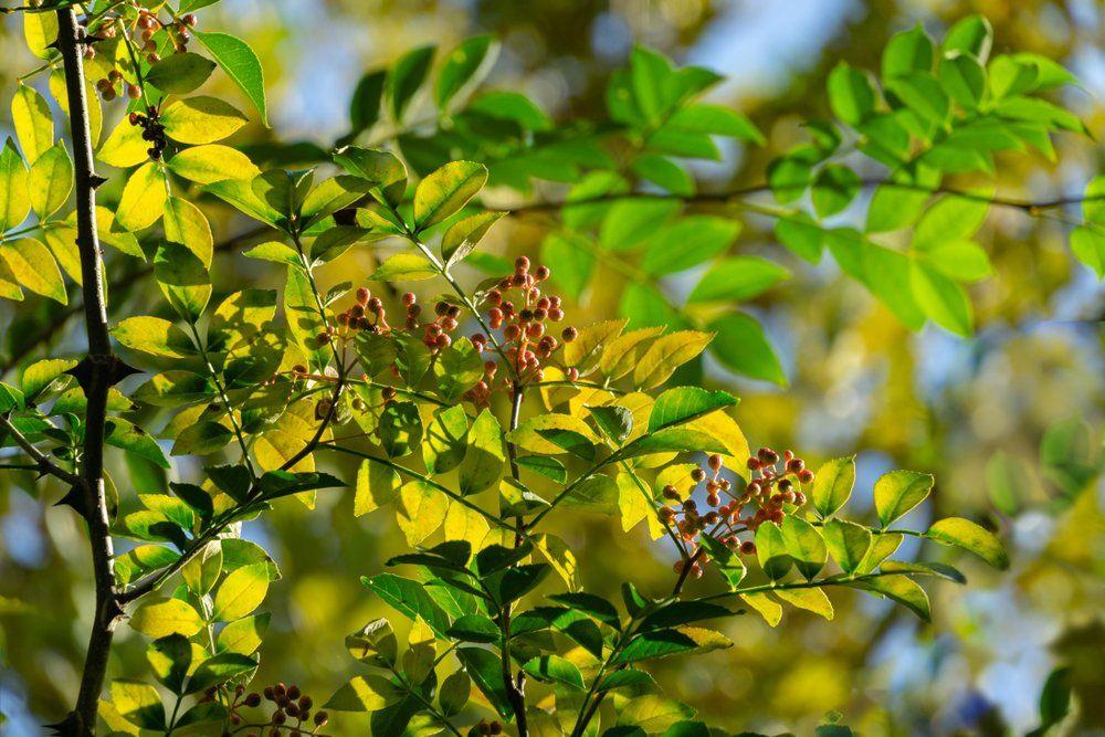 Szechuan pepper plant