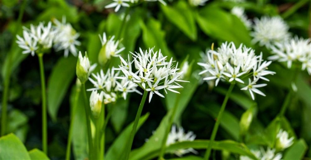Wild garlic leaves and flowers