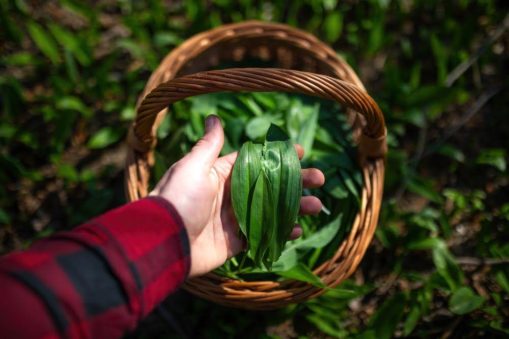 Hand holding harvested wild garlic leaves