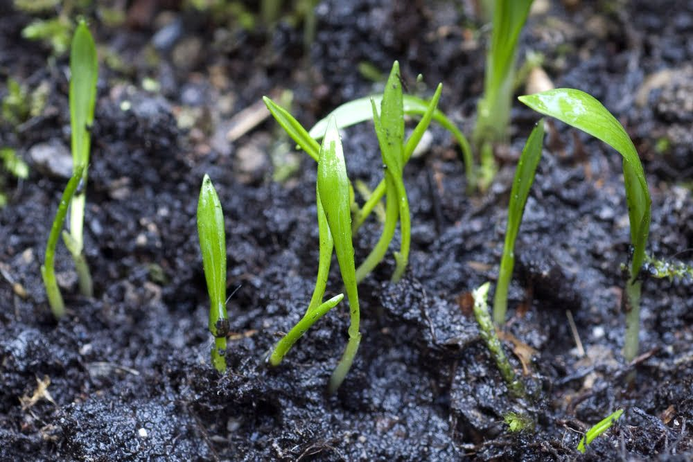 Young shoots of wild garlic