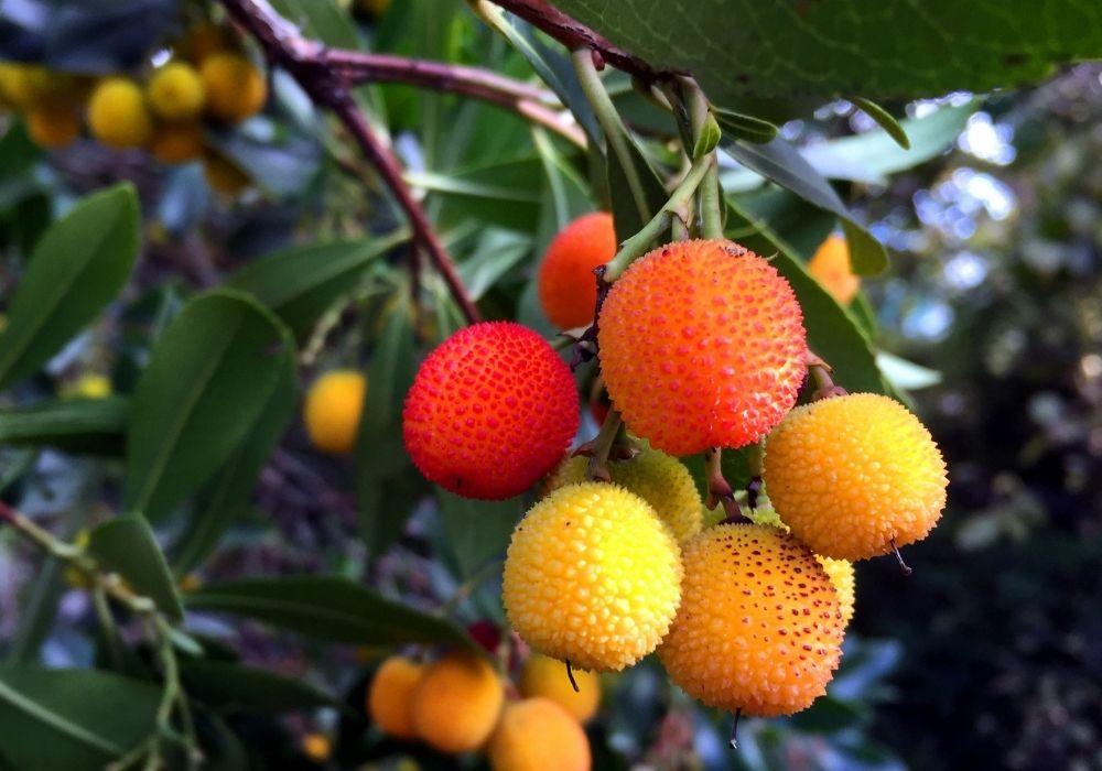 arbutus-unedo-strawberry-tree