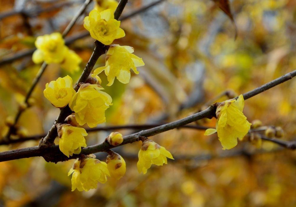 chimonanthus-praecox-wintersweet-flowers