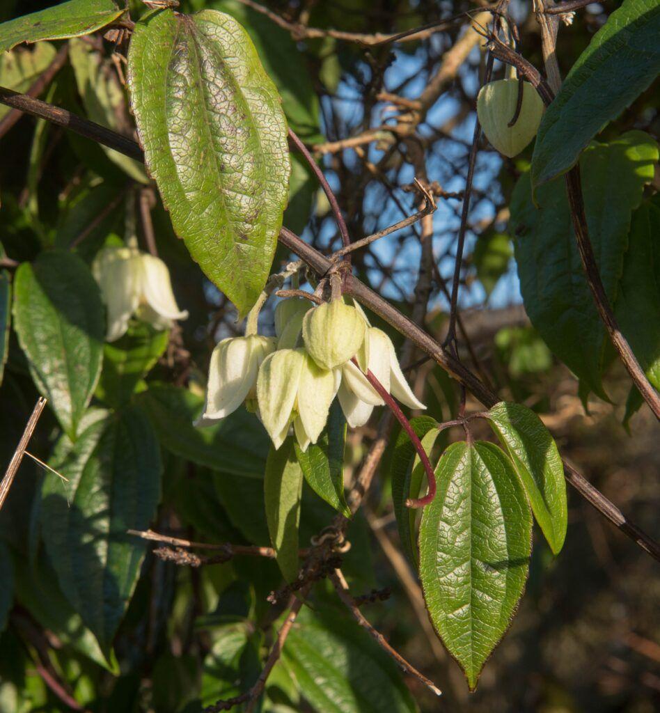 clematis-urophylla-winter-beauty