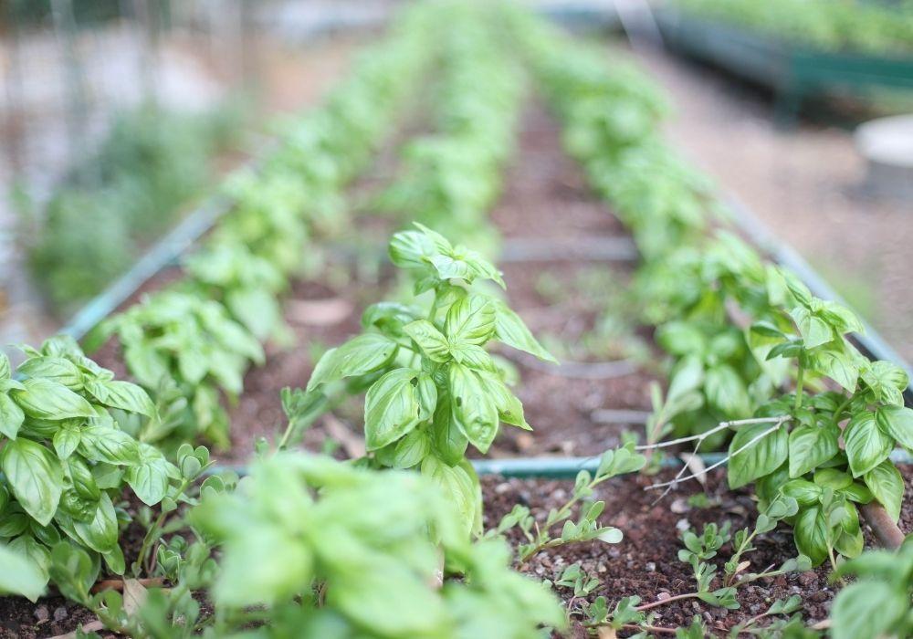 herb-garden-basil