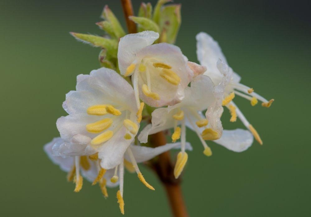 lonicera-x-purpusii-winter-beauty-flowers